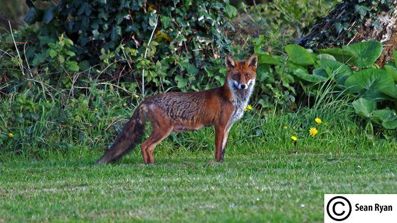 Fox in Westfields Park Limerick (Pic Sean Ryan)