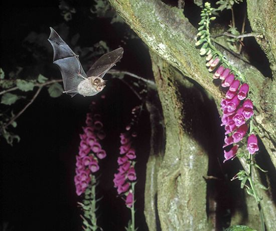 Lesser Horseshoe Bat (Frank Greenaway)